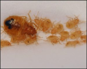 A number of laboratory and field tests with Cryonite have shown outstanding effectiveness in killing bed bug eggs, nymphs, and adults.
