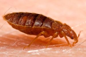 Bed Bugs: Identifying and Getting Rid of Them for Good