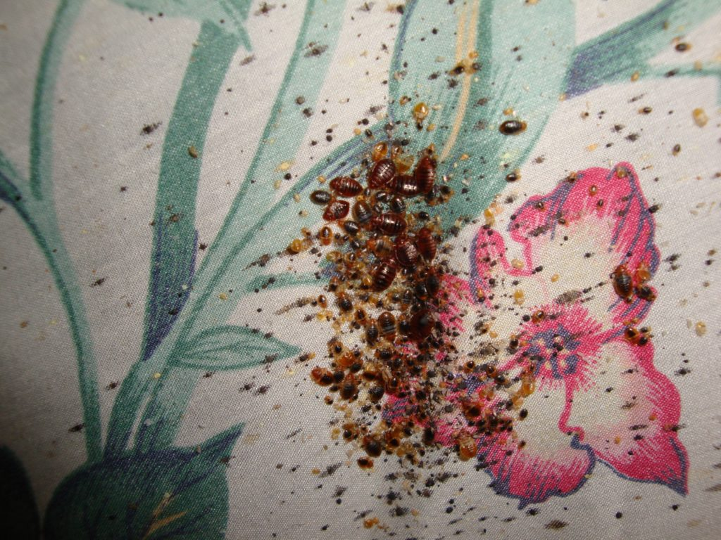 bed bugs in hotel bedsheet