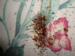 bed bugs in hotel bed sheet