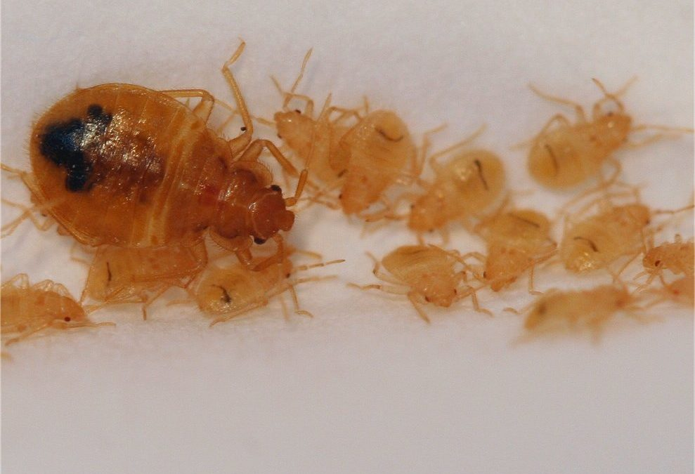 Baby Bed Bugs